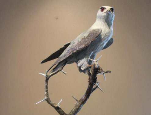 Black-shouldered kite -Size: H:52 x W:26. Bronze with silver thorns. Edition of 10